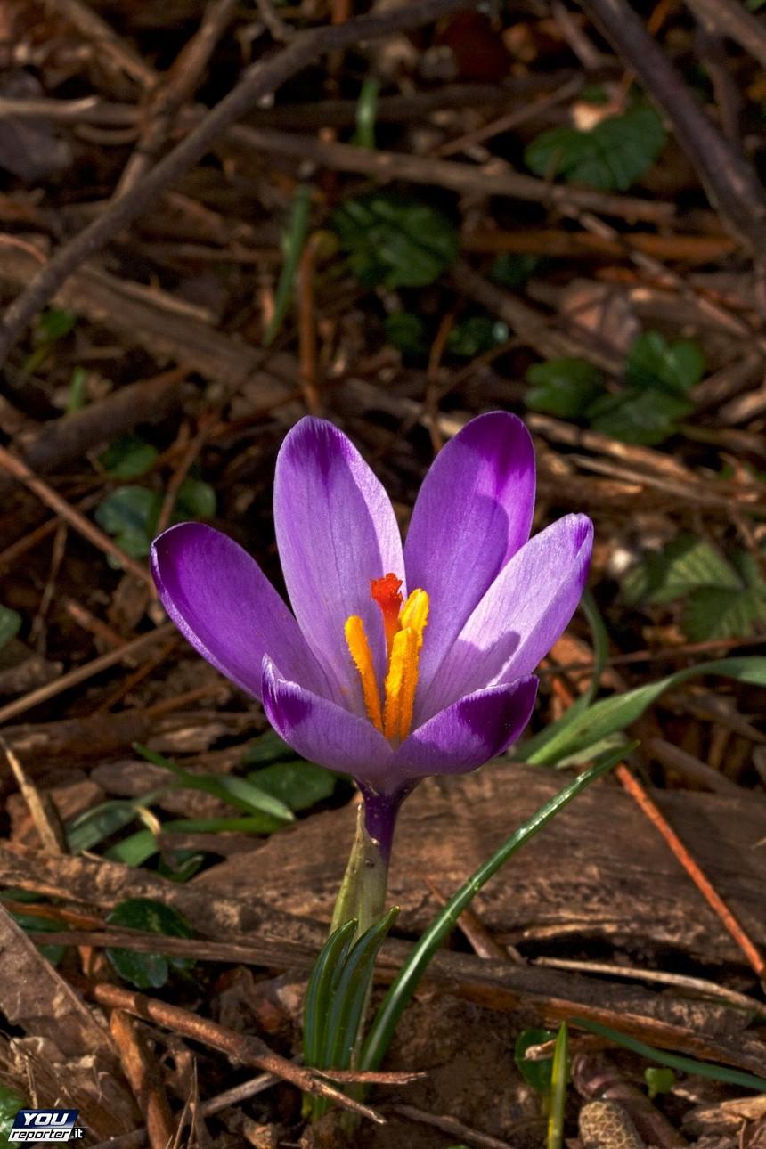 Fiori Selvatici Foto E Nomi fiori di primavera - zafferano maggiore (nome scientifico